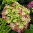Hydrangea macrophylla Green Lips Purple